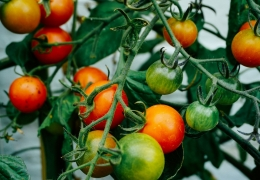 WHAT YOU NEED TO KNOW ABOUT PLANTING TOMATOES